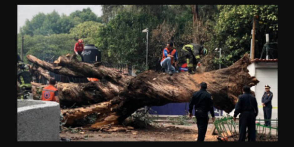 Cae árbol de más de 20 metros afuera de Metro Auditorio