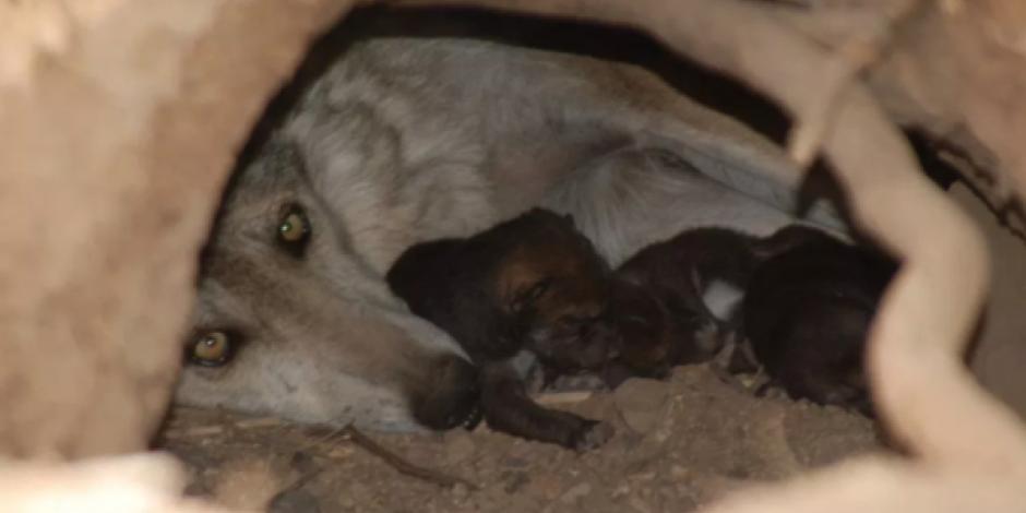 Nacen seis crías de lobo gris en zoológico de Tamaulipas