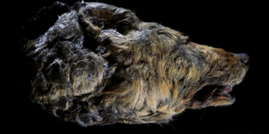 Científicos encuentran cabeza de lobo gigante que vivió hace 40 mil años