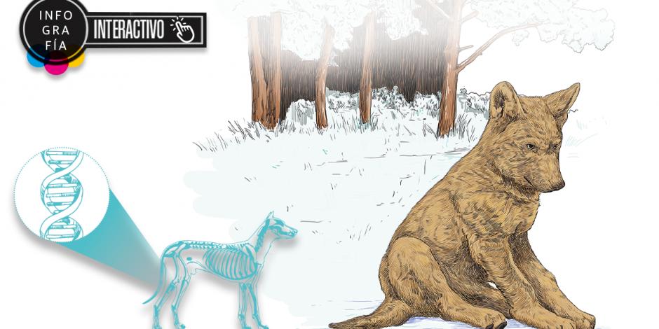 Interactivo: Un cachorrito, la clave para hallar el eslabón entre los lobos y los perros