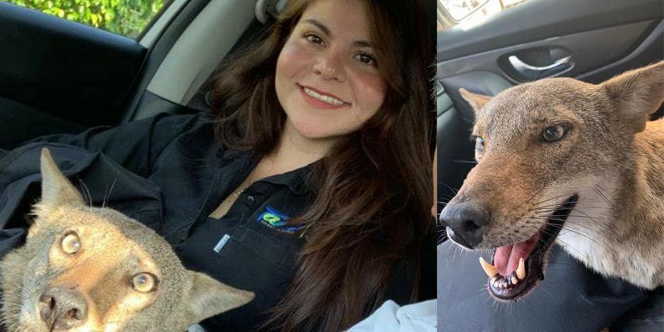Mujer creyó rescatar a un perro herido pero resultó ser… ¡un coyote!