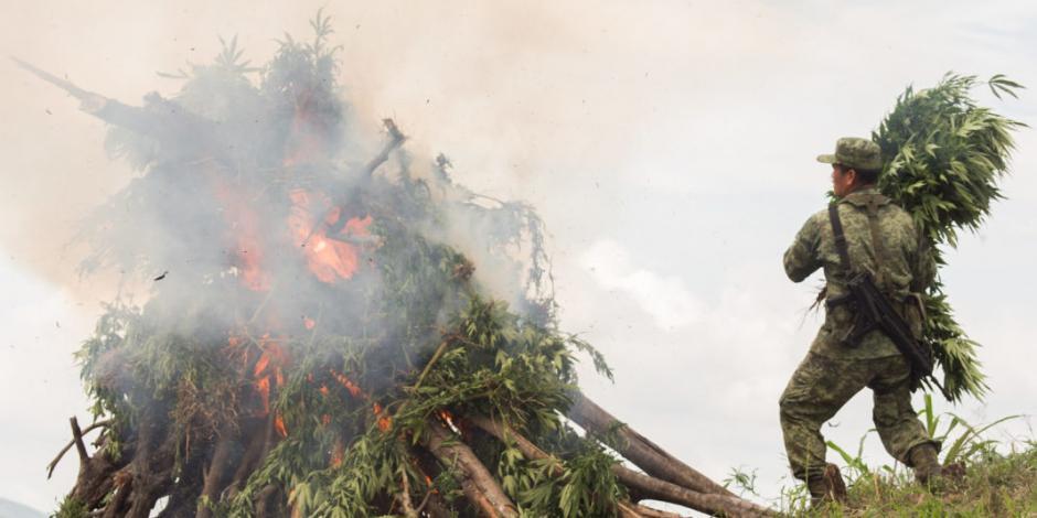 Ejército destruye 56 mil plantas de mariguana en Ensenada