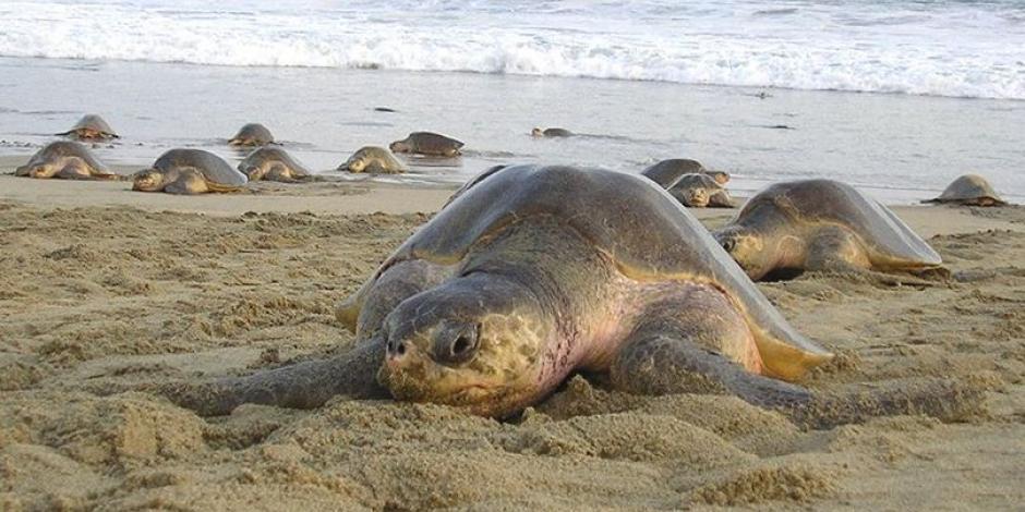 Marea roja causa mortandad de tortugas y gaviotas en Oaxaca
