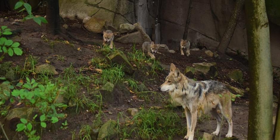 Nace camada de lobos mexicanos en Zoológico de Chapultepec