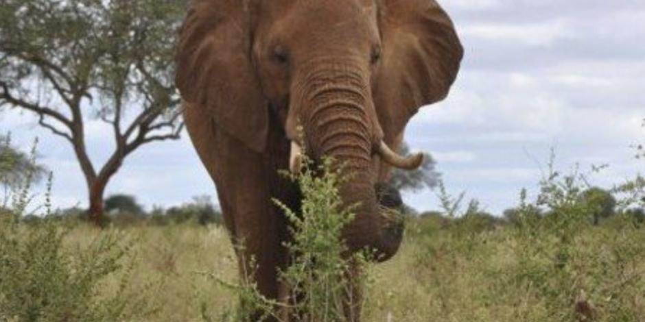 Turista muere por ataque de elefante en reserva ecológica de Zimbabwe