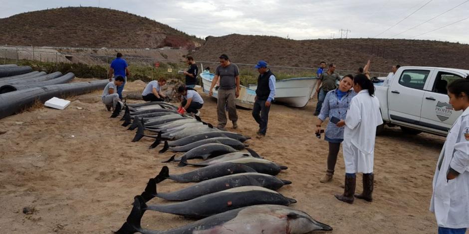 Hallan 54 delfines varados en La Paz
