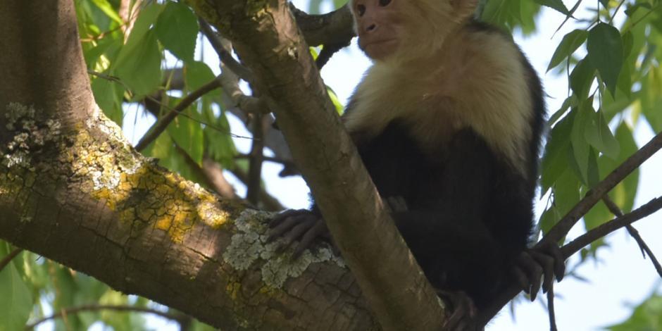 Hallar a mono de Reforma, misión imposible, considera SSPCDMX