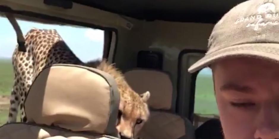 VIDEO: Un guepardo aborda el Jeep de un asustado turista en Tanzania