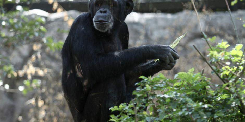 Muere chimpancé en Zoológico de San Juan de Aragón