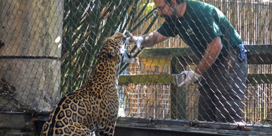 Escapa jaguar en Zoológico de Nueva Orleans y mata a seis animales