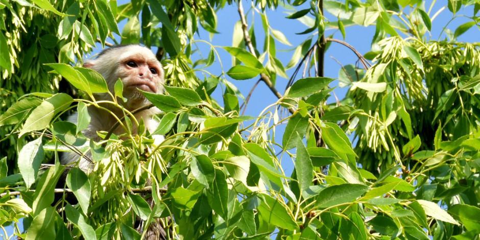 El mono de Reforma sigue libre y se vuelve estrella en memes