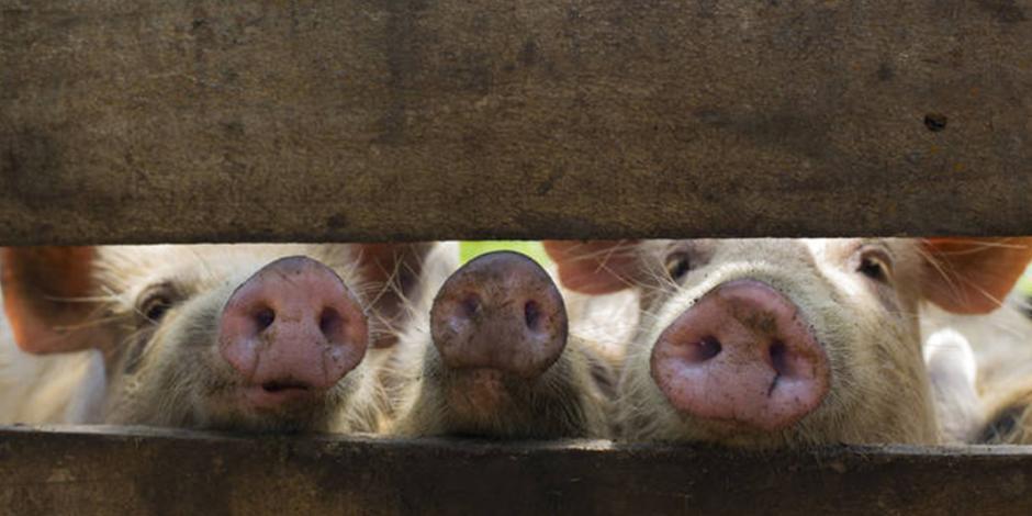 China asegura que brote de peste porcina africana está bajo control