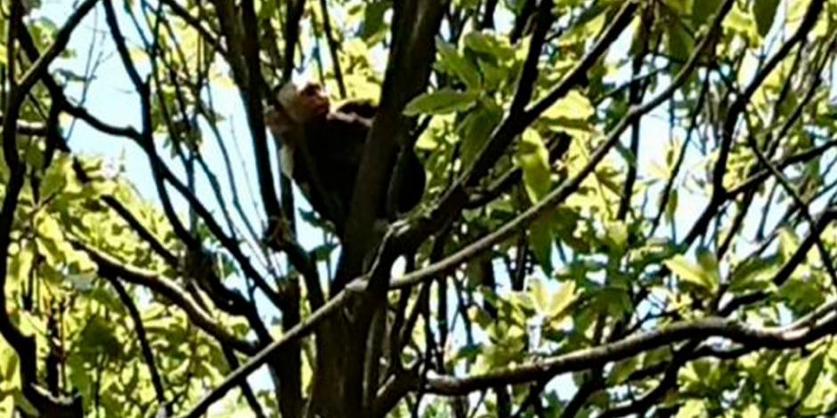 Hallan a mono capuchino a un kilómetro de donde fue visto por última vez