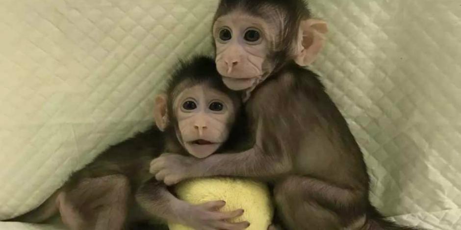 Científicos chinos clonan por primera vez 2 monos