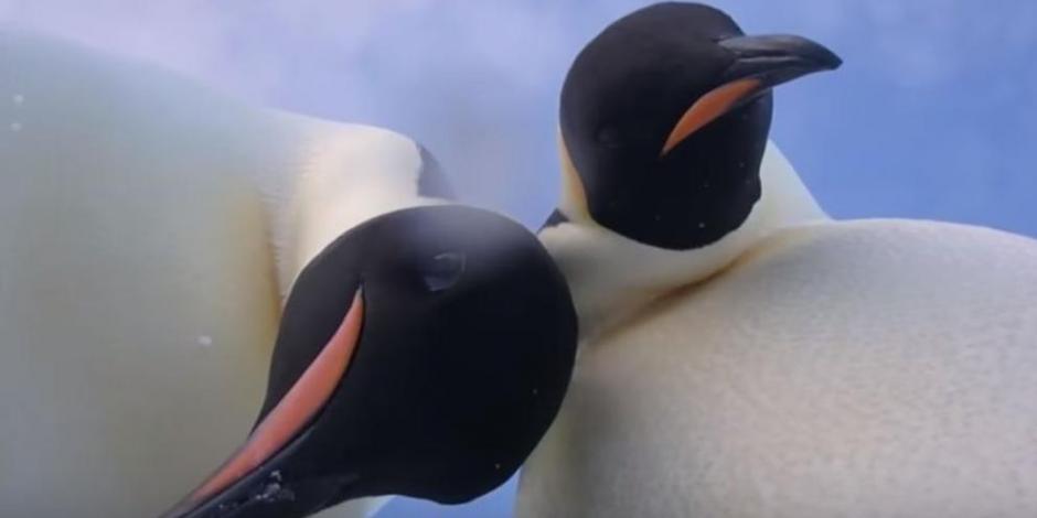 VIDEO: Pingüinos emperador posan para una selfie y se vuelve viral