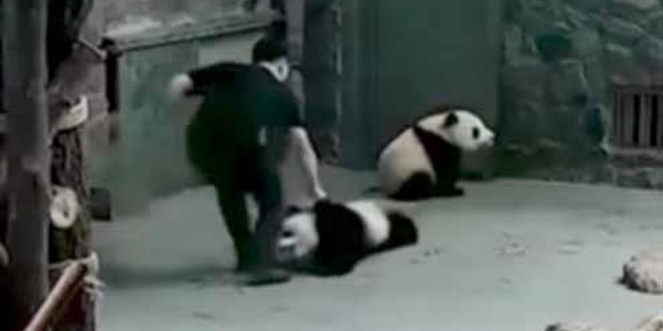 Causa indignación maltrato de 2 osos panda en China