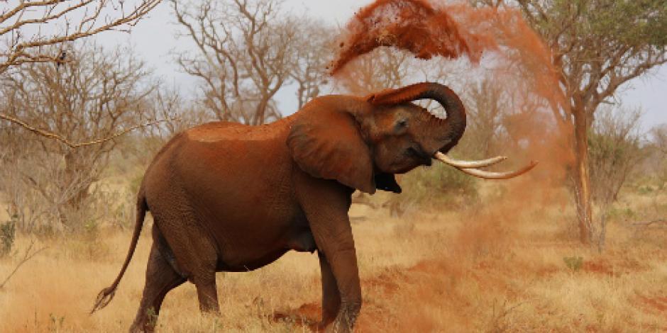 Cazador muere aplastado por un elefante