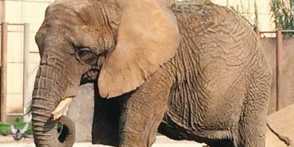 Sedema desmiente riesgos en salud de la elefanta Elly