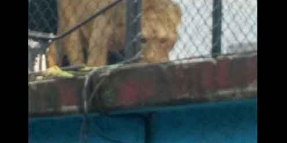 VIDEO: Rescatan a león de una azotea en la Merced, Balbuena