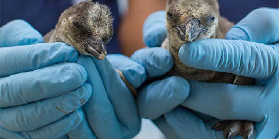 Colonia de pingüinos crece en el Acuario de Veracruz