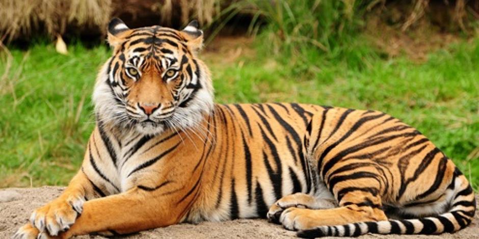 Profepa asegura tigre de bengala en domicilio de Guanajuato