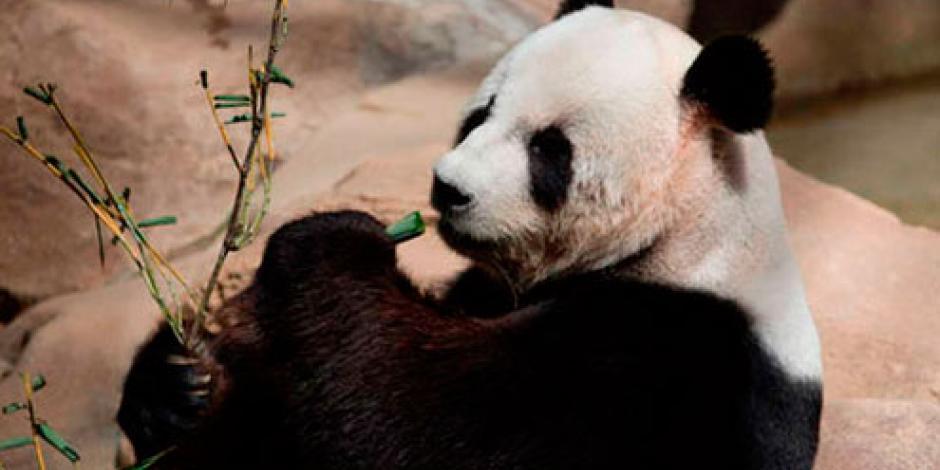 Zoológico de Taiwán desmiente muerte de panda