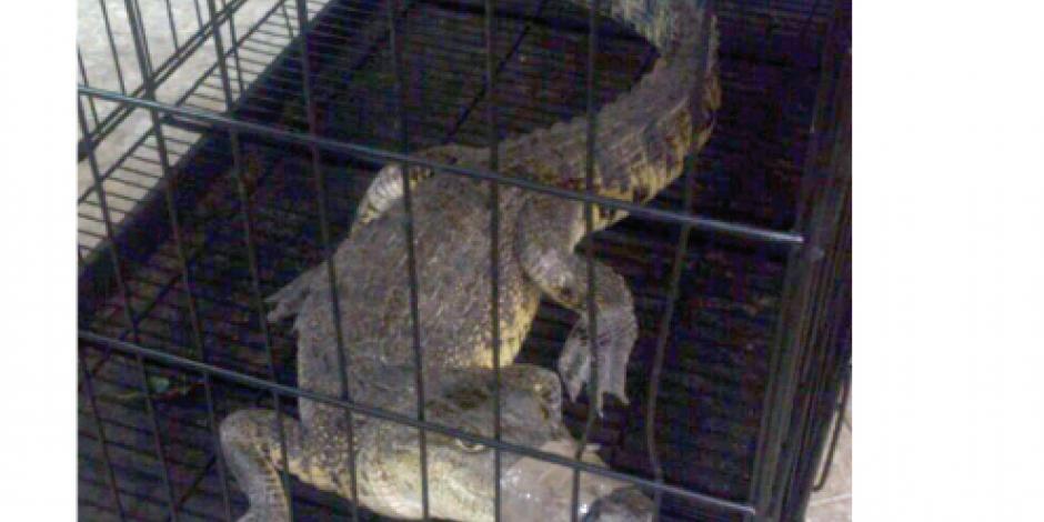 Rescatan caimán en Mercado de San Juan