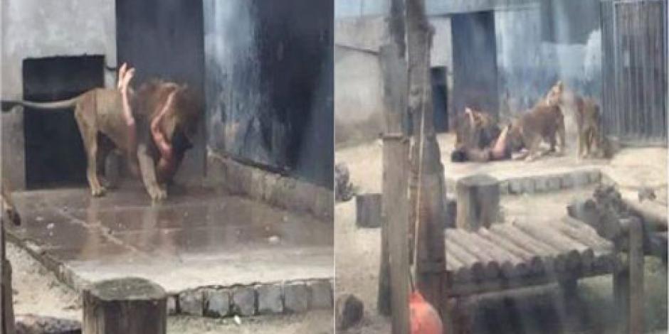 Dos leones son sacrificados en zoológico chileno para salvar a suicida