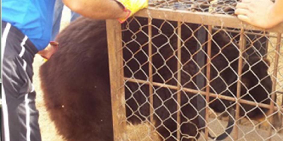 VIDEO: Decomisan 5 tigres y 2 osos a un circo en Sinaloa