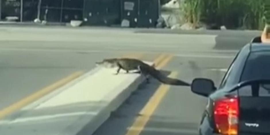 """Lagarto se pasea por calles de Miami tras paso de """"Matthew"""""""