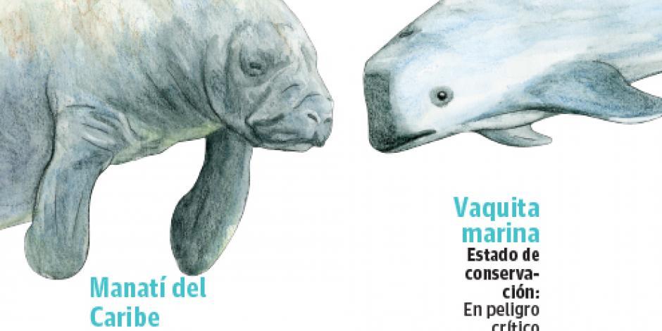 Pesca y caza ponen a manatí y vaquita marina al borde de la extinción