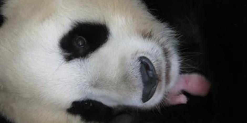 Nace oso panda en zoológico de Madrid