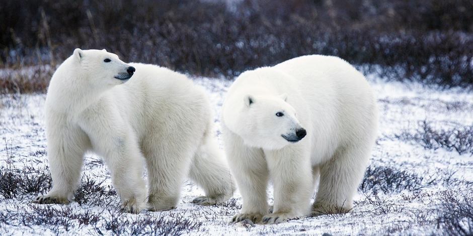 polar-bears-1665367_1920