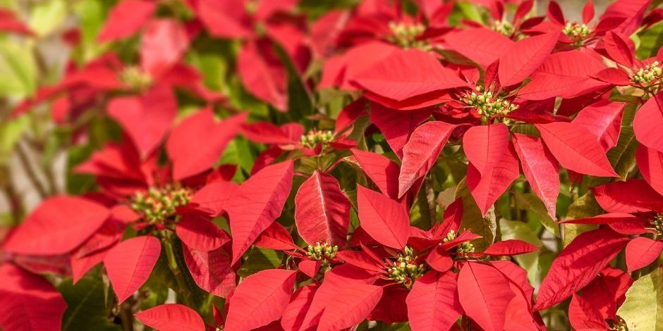 Nochebuena-flor