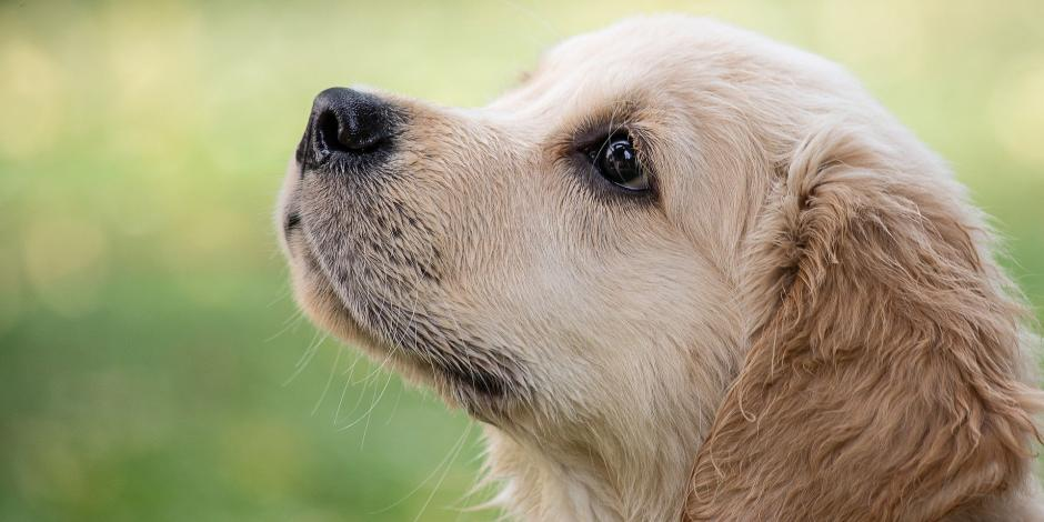 Olfato canino