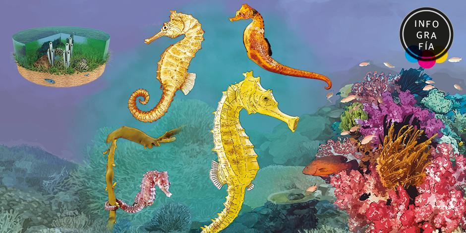 Hipocampos, la especie protegida en México que persigue China