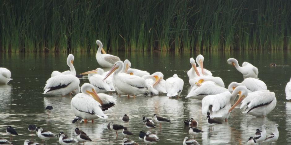 pelicanos1