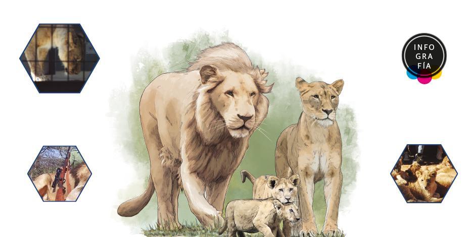 Sudáfrica pone fin a la controvertida industria del león cautivo