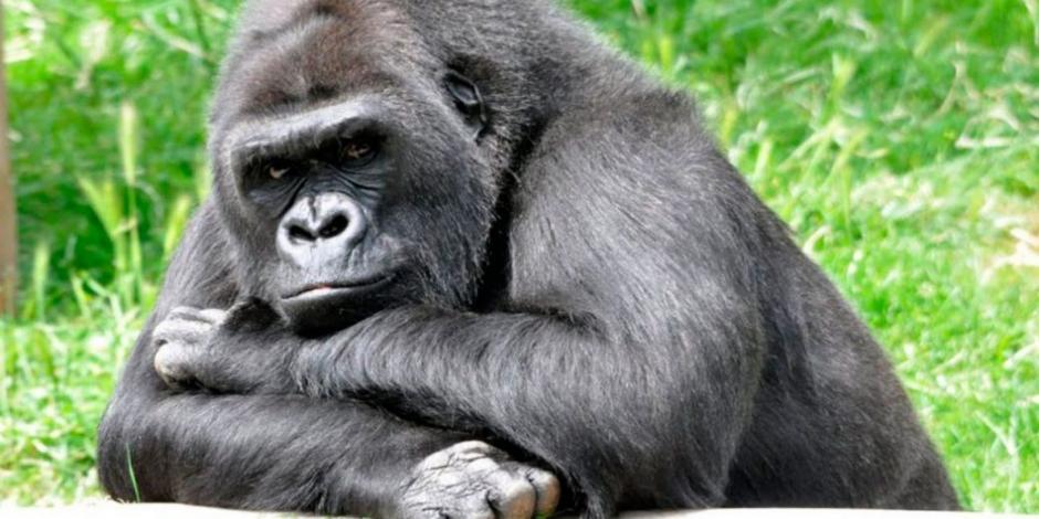 gorila-1040x545
