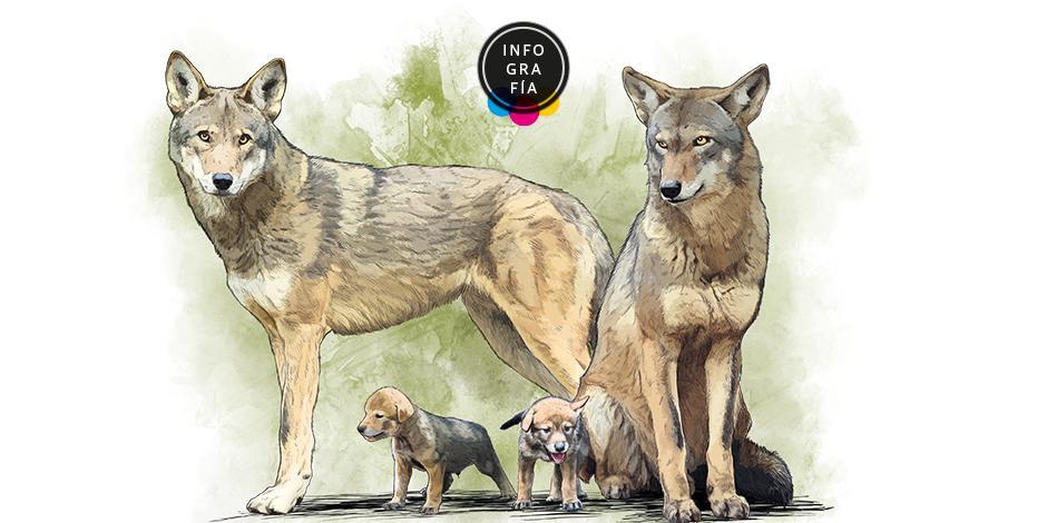 Recae en 8 lobos rojos la esperanza para salvar especie