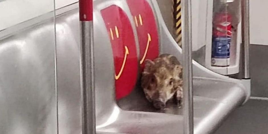 Jabalí se cuela en metro de Hong Kong