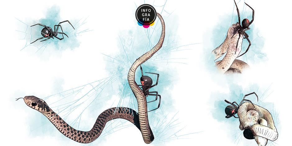 Descubren que al menos 40 especies de arañas comen serpientes