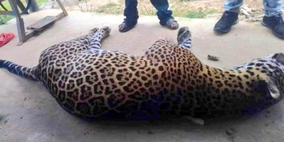 campesino mata con veneno a jaguar