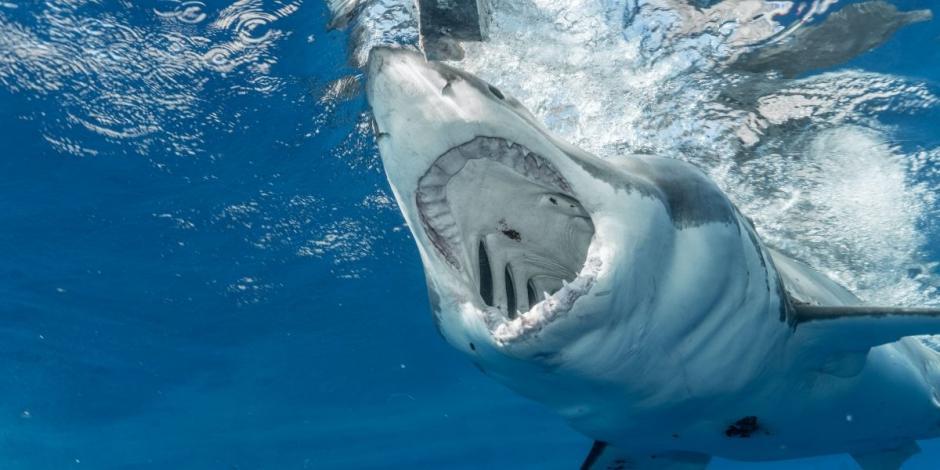 Tiburón devora un cuerpo en Yucatán
