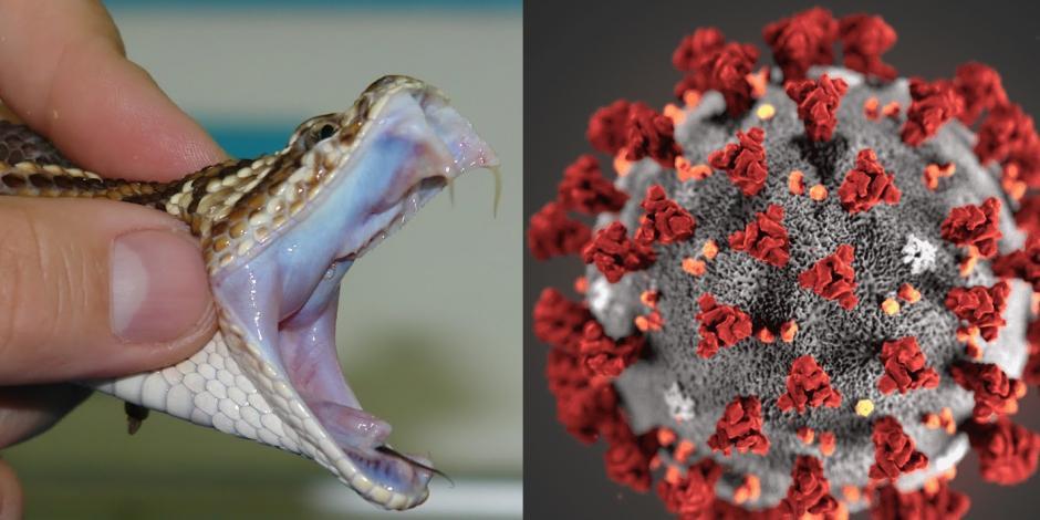 Investigadores encuentran que una sustancia en el veneno de una serpiente podría frenar el COVID-19